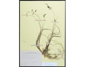 Ostřice bažinná (Carex limosa), Šumava, 27. 6. 1991, leg. J. Michálek, Č. Ondráček, Jar. Rydlo.